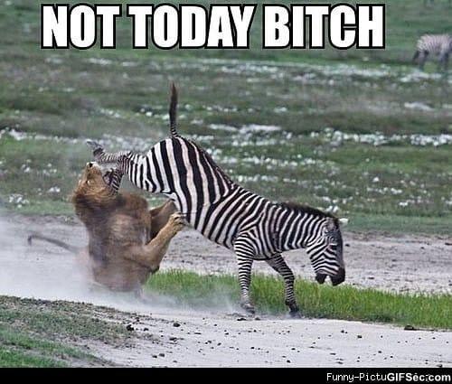 Funny Zebra Meme : Zebra vs lion funny pictures