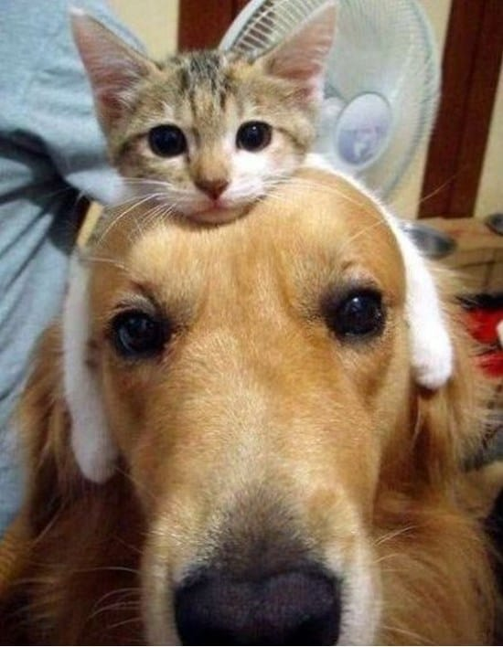 kitten-hairband