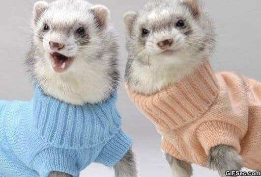 ferrets-wearing-turtlenecks