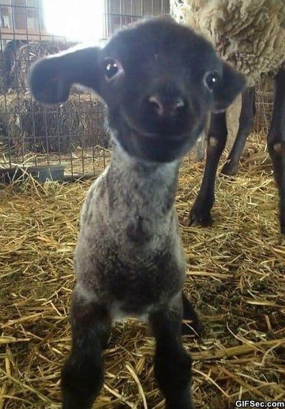 funny-here-is-a-smiling-lamb