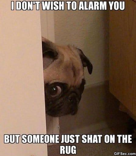 funny-peeking-pug-has-bad-news