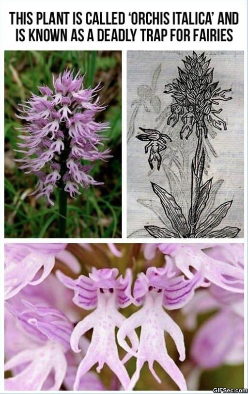 orchis-italica