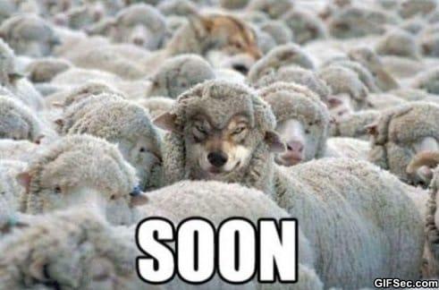 suspicious-sheep