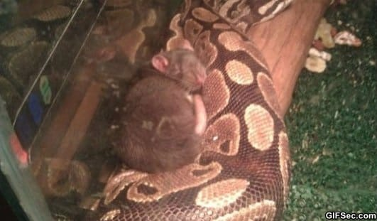 this-snake-has-refused-to-eat-this-rat-for-2-months