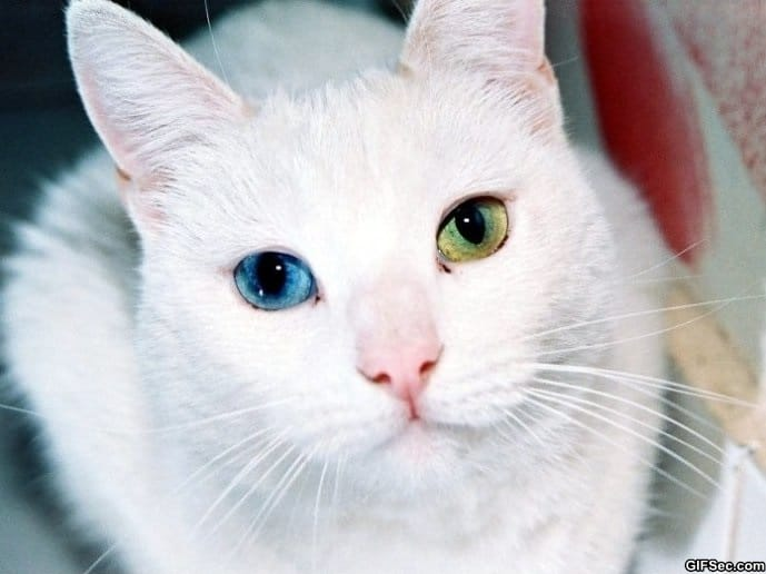 just-a-cat-with-heterochromia