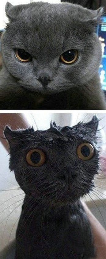Funny Pictures - Baths traumatize even the coolest cats