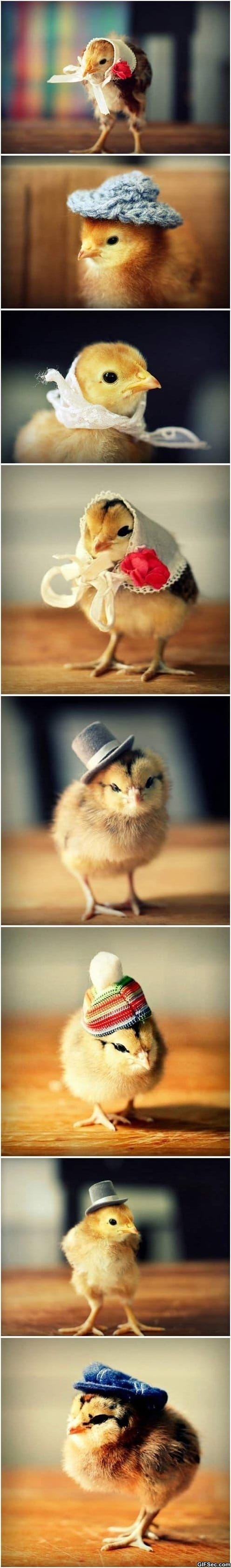 Funny Pictures - Chicks in hats