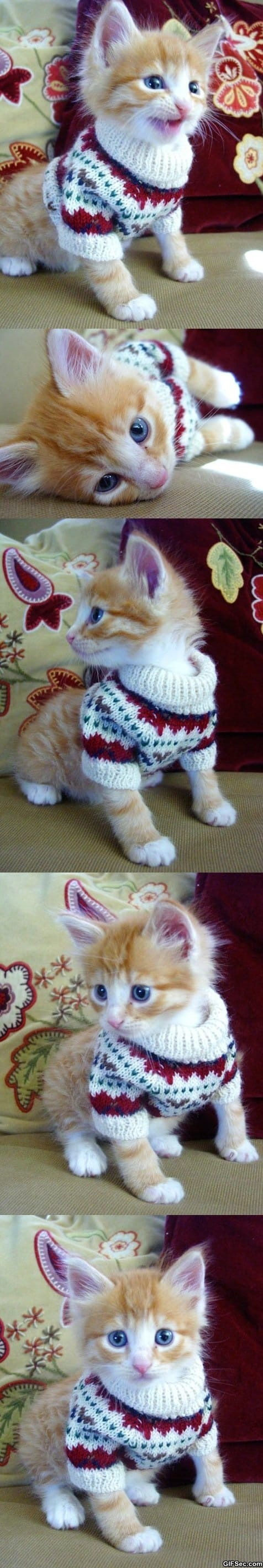 cat-in-a-sweater