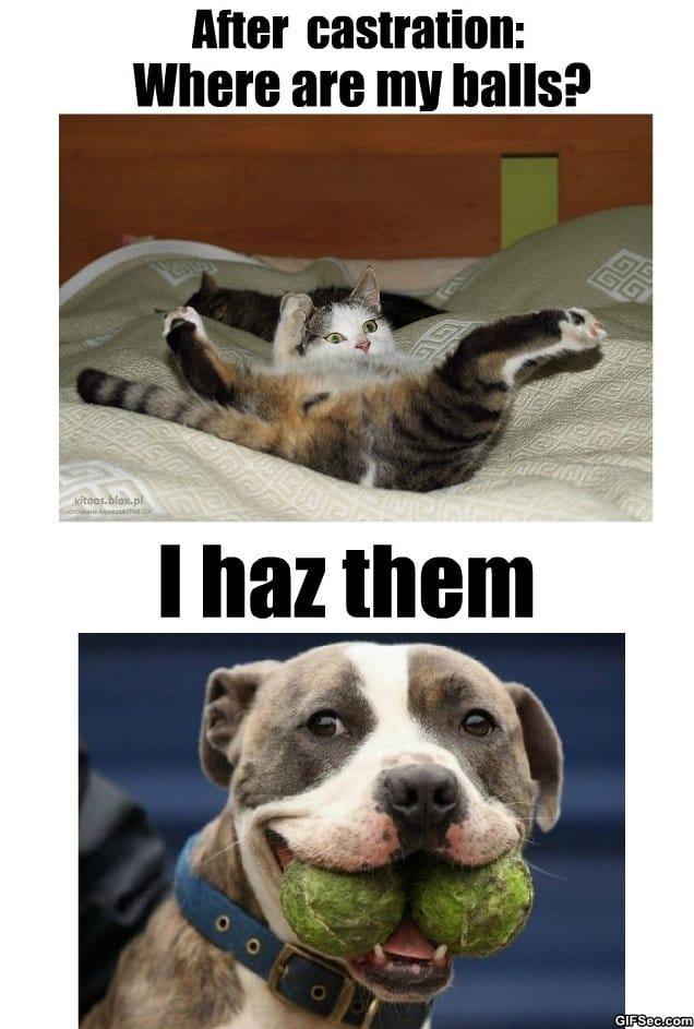 Cat Meme Castration