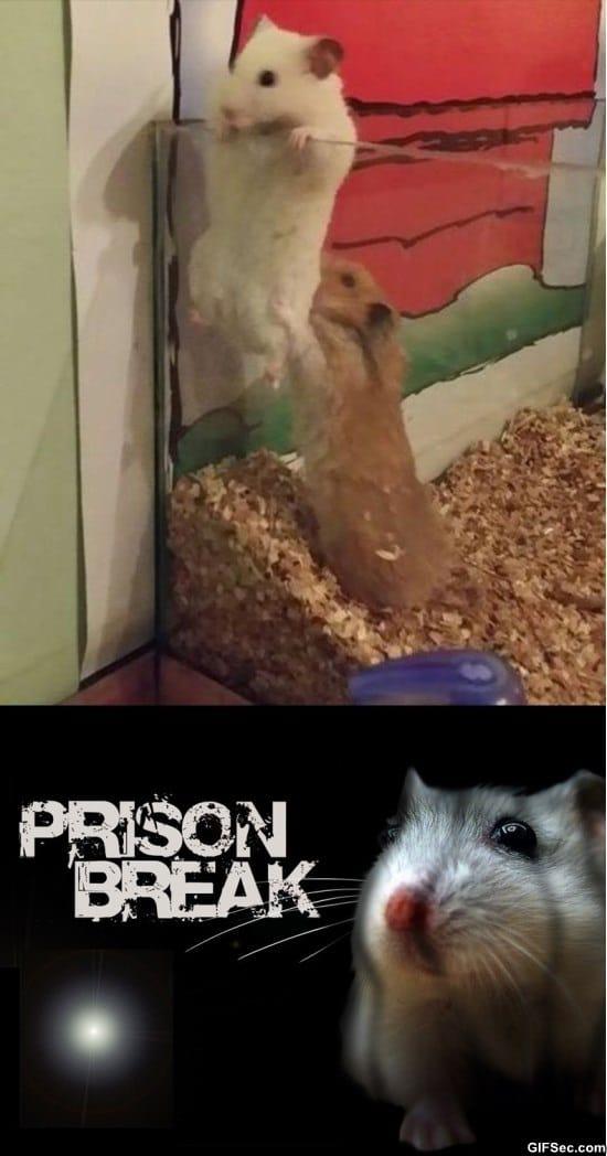funny-gif-prison-break-hamster-edition