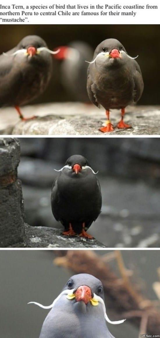 gentlemen-bird