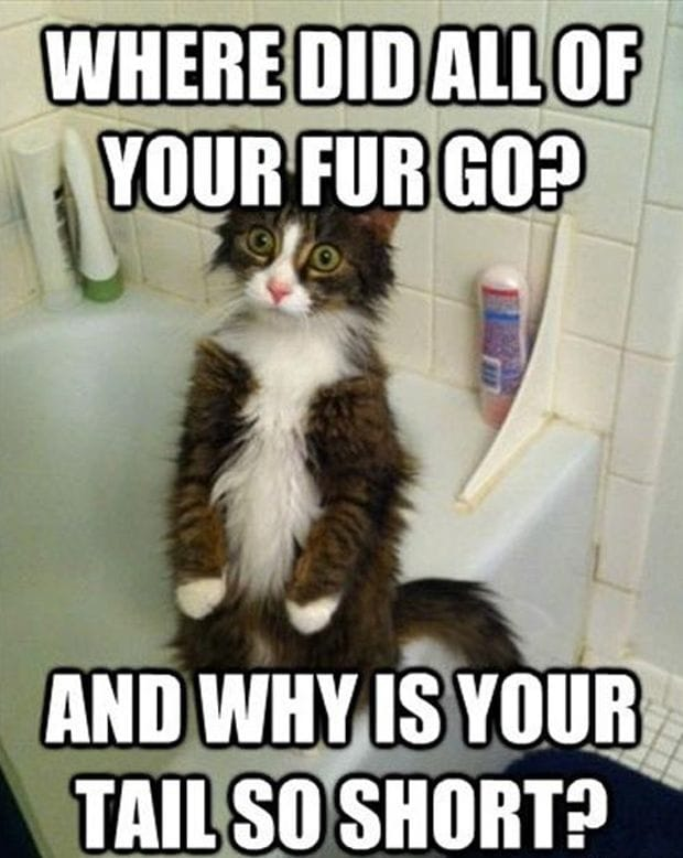 cat-after-a-bath