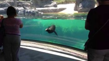 Sea Lion Reacts Worried When Little Girl Falls