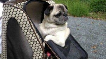 funny-jokes-rich-pug