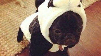 lol-pug-panda
