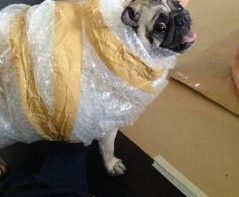 pugs-in-costumes-2014