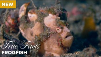 How Much Do You Know About Frog Fish?