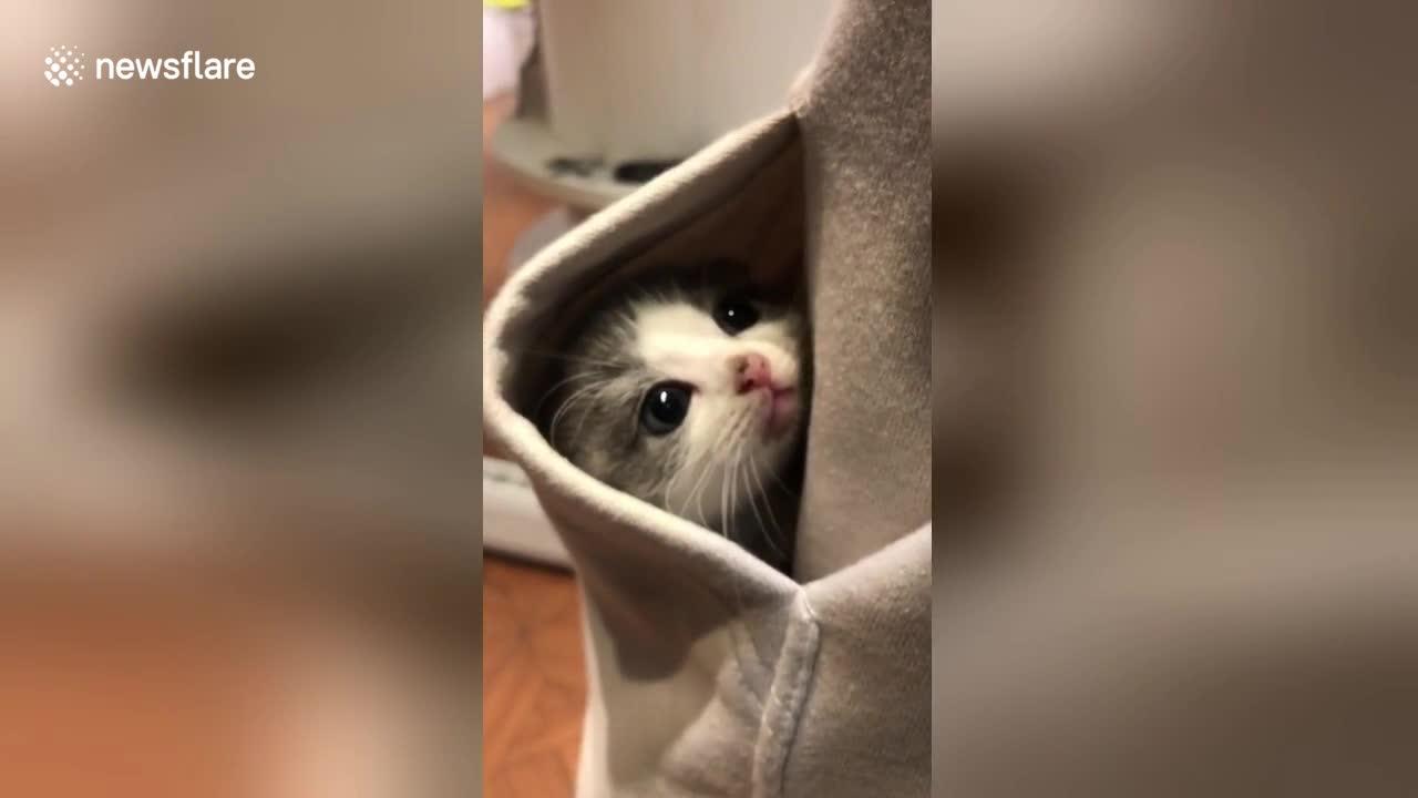 sweet kitten hides in pocket