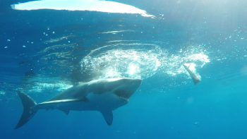 beautiful great white shark tries to get to diver