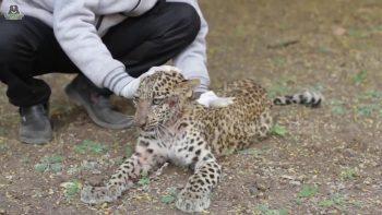 paralyzed leopard cub learns to walk