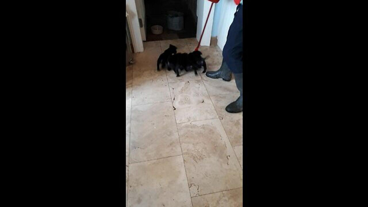 puppies chase mop around kitchen video