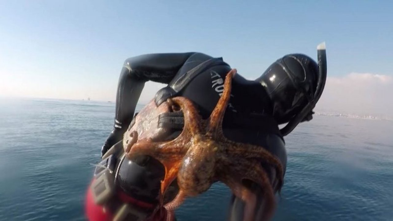 octopus befriends diver