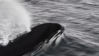 orcas swim next to boat video