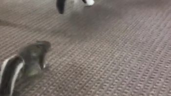 Fearless squirrel chases friendly cat
