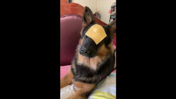 German Shepherd Hilarious Reaction Video