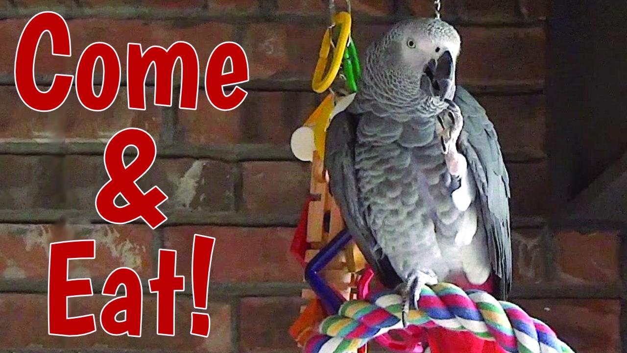 Parrot Hospitable, Parrot Talking, Parrot Imaginary Dinner, Parrot Viral video