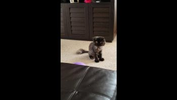 Persian Cat Plays With Balloons Like A Dog