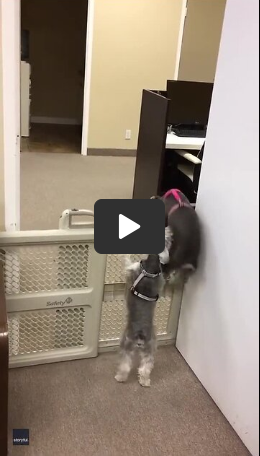 Dog Helps Puppy Climb Over Pet Barrier