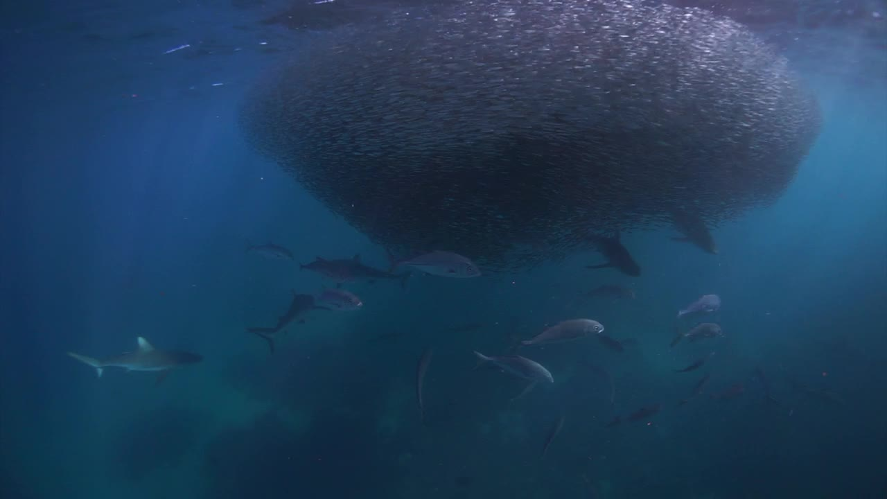 Sharks Feeding on Ball of Baitfish