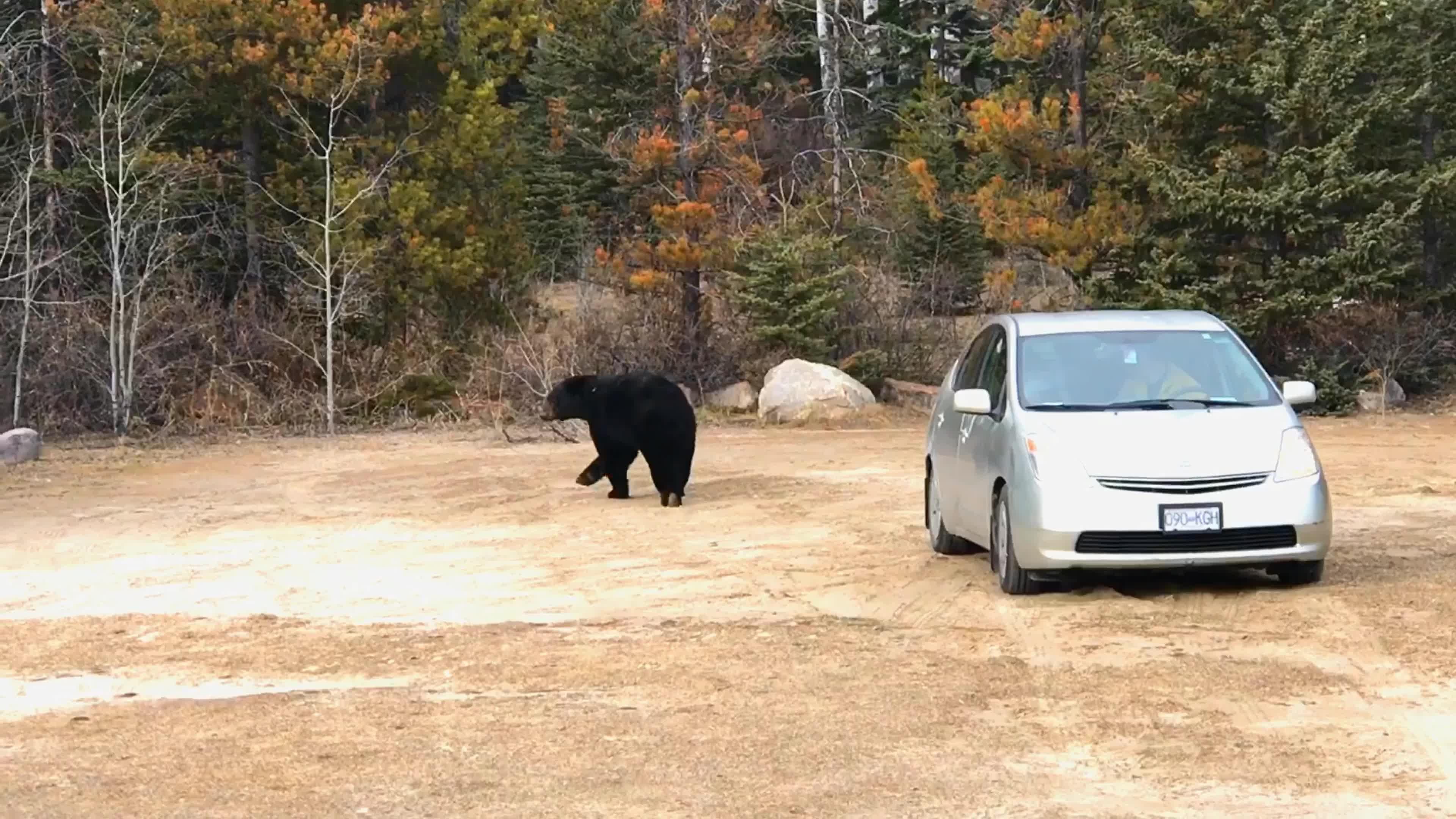Bear Pays Car a Visit in Banff National Park