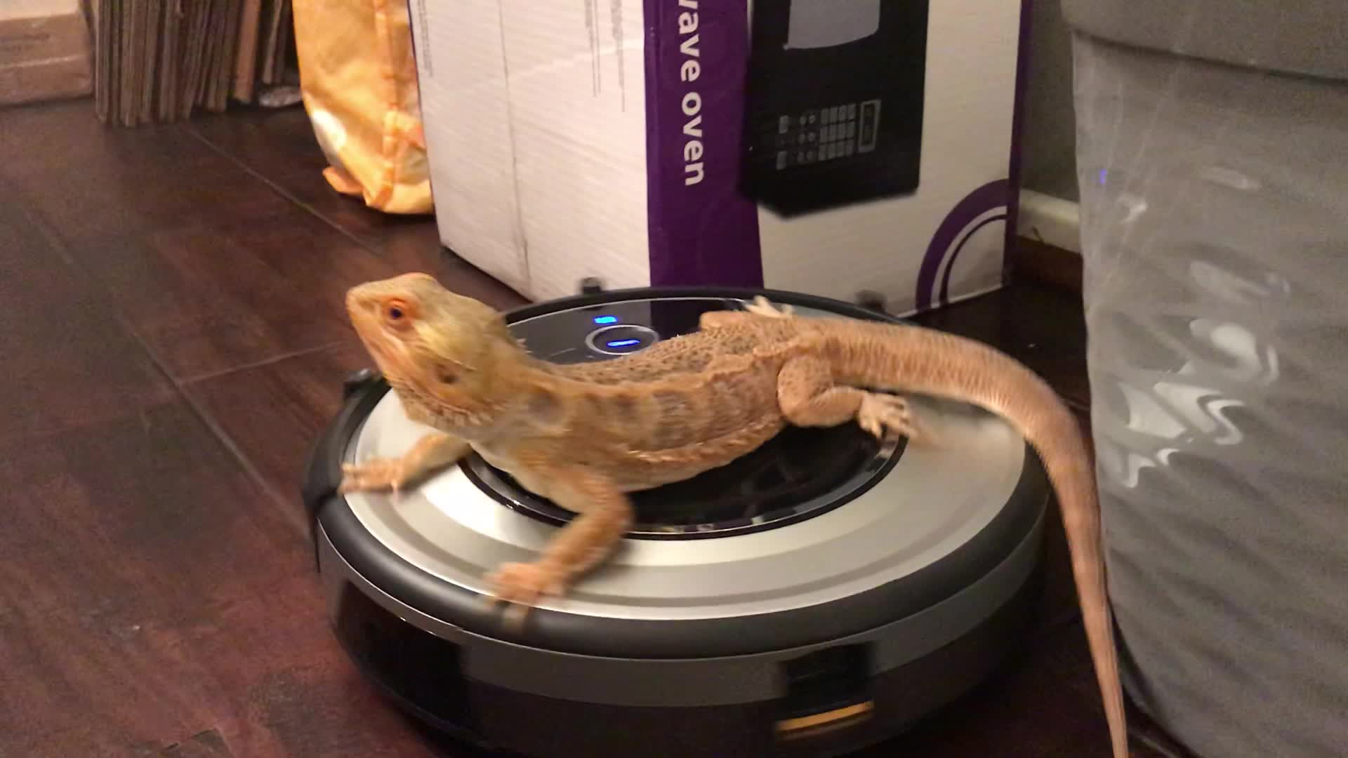 Bearded Dragon Takes Relaxing Roomba Ride