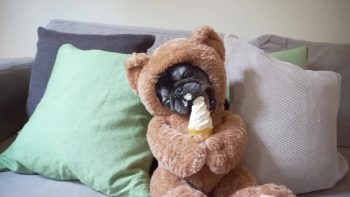 Teddy Bear Pug Loves Ice Cream