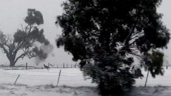 Kangaroos in the Snow