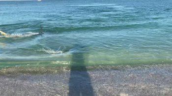 Hammerhead Chases Tarpon Along Beach