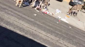 Wild Donkeys Make a Mess