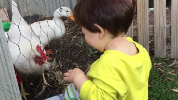 Sweet baby loves to hand feed the chickens