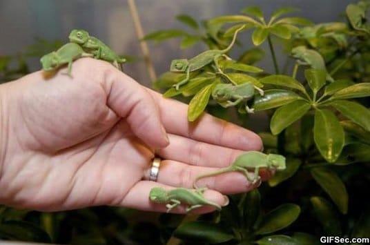cute-newborn-baby-chameleons