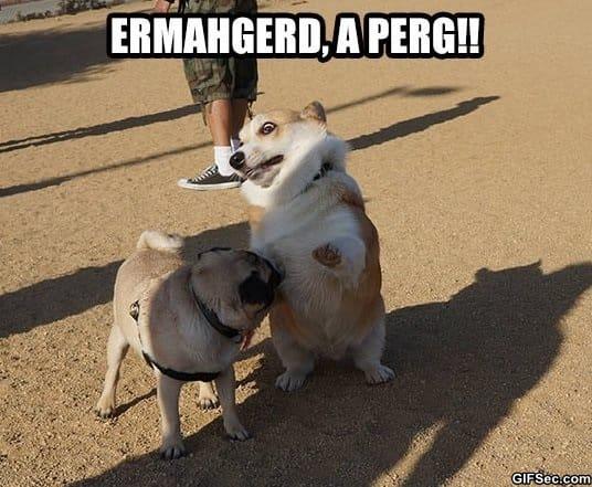 funny-corgi-spots-a-pug