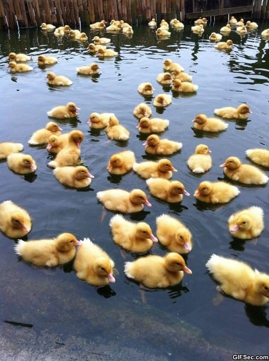 funny-pictures-baby-ducks