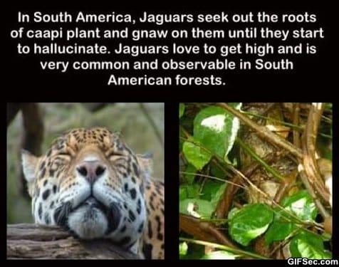 lol-oh-jaguars-you-so-silly
