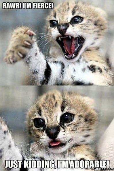 meme-adorable-cat