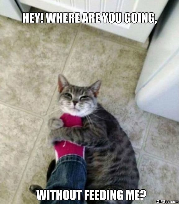meme-hungry-cat