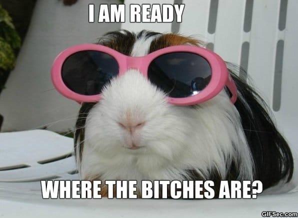 party-guinea-pig