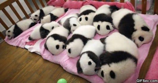 someone-told-me-you-like-a-dozen-baby-pandas