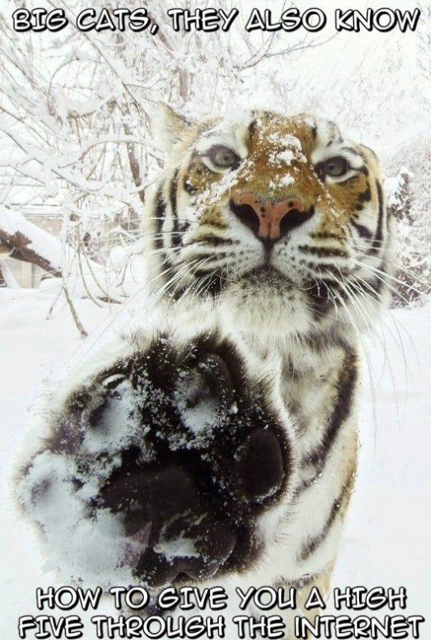 funny-big-cats