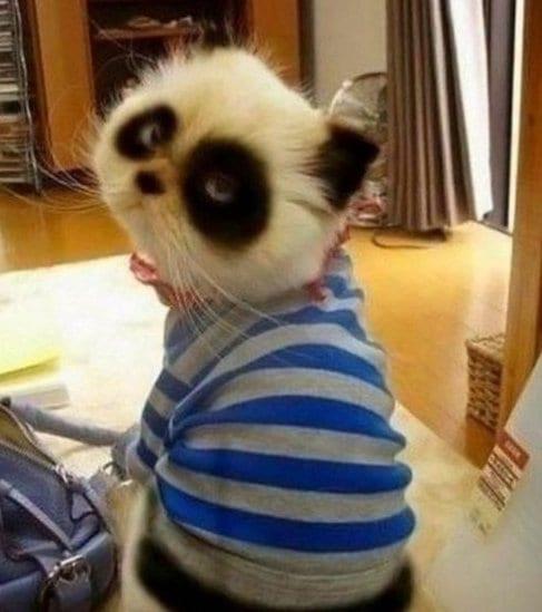 meme-lol-panda-cat